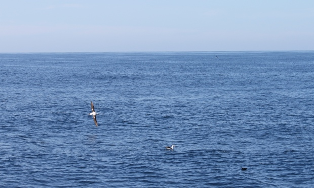 Albatross and shearwater from onboard Endeavour. Credit Suzannah Marshall Macbeth