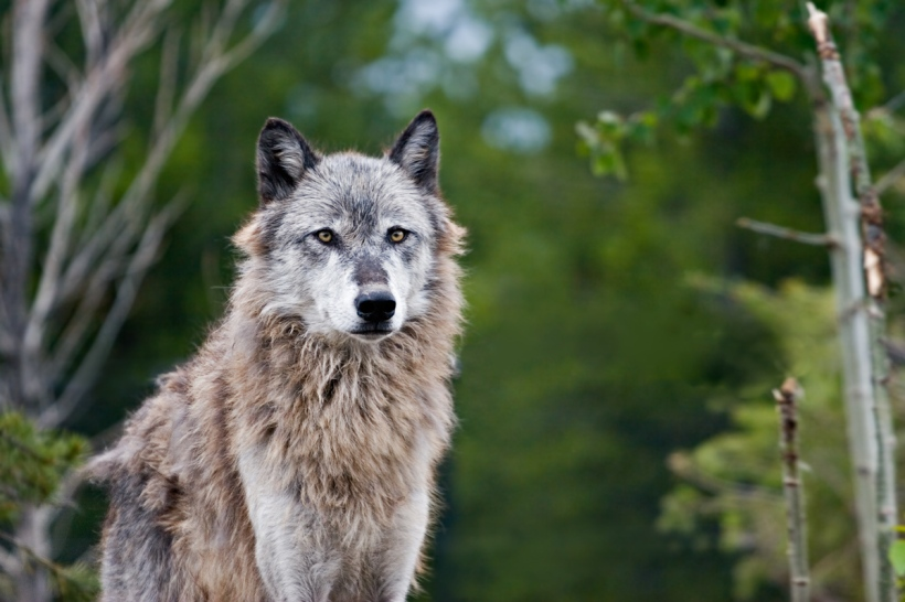Wolf image by Shawn Kinkade